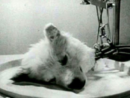 anjingeksperimen1