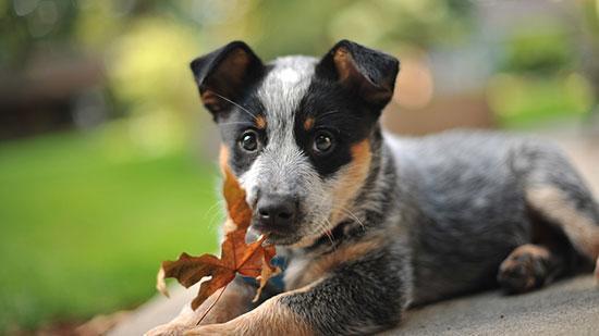 anjingterpintar1