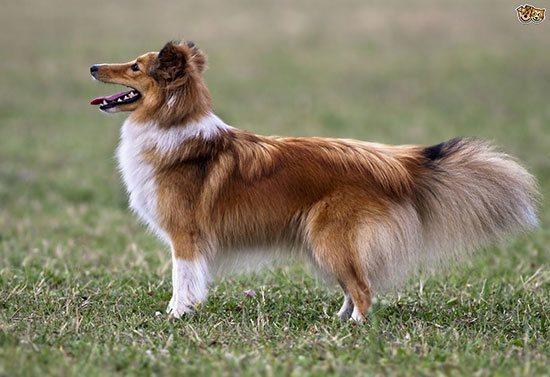 anjingterpintar7