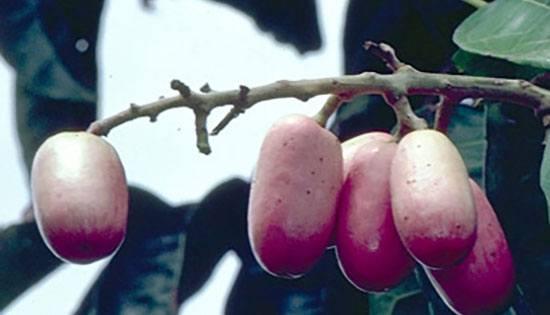 buahaneh7