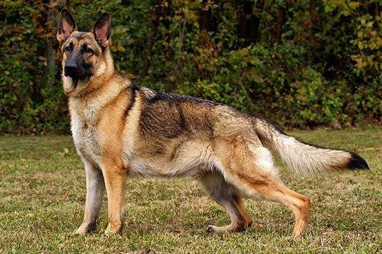 anjingterpintar10
