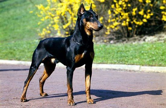 anjingterpintar3
